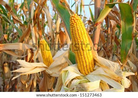 Aszalt kukorica mező égbolt farm vidék Stock fotó © MikhailMishchenko