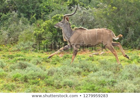 Young male Kudu running in the bush. Stock photo © simoneeman