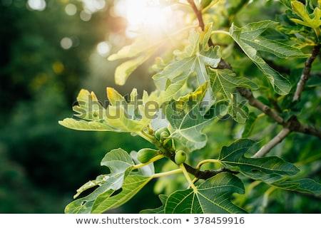 Higo árbol hoja primer plano textura sol Foto stock © radoma