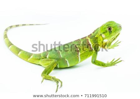 Lagarto isolado colorido branco verde azul Foto stock © angelsimon