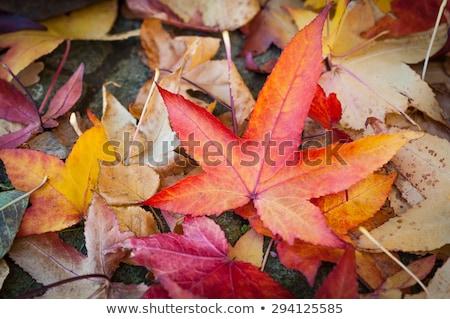 Eindruck Blätter Herbst Farben Textur Wald Stock foto © wjarek