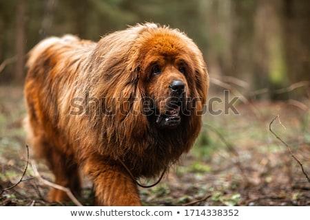 Mastim cão gramado inteligente independente Foto stock © raywoo