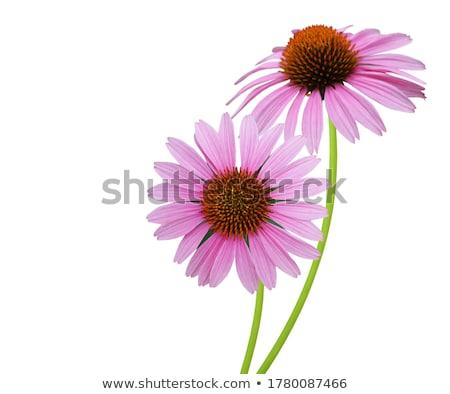 Echinacea flower stock photo © Kotenko