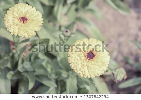 Citromsárga virág extrém közelkép hátulnézet fehér Stock fotó © calvste