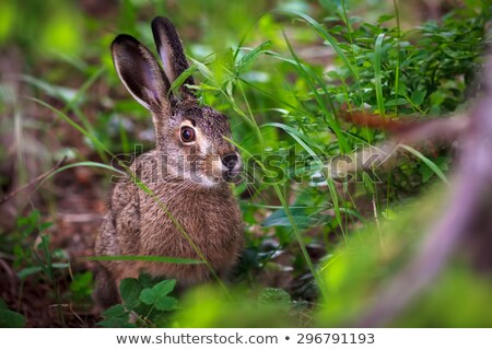 Lop eared rabbit eating lettuce Stock photo © pixelmemoirs