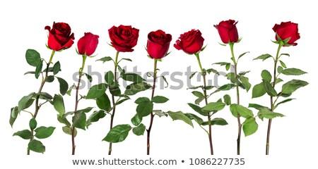 Oldal lövés piros rózsa piros virágzó rózsa Stock fotó © gorgev