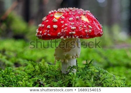 菌 · 赤 · 秋 · 危険 · 自然 · シーズン - ストックフォト © pzaxe