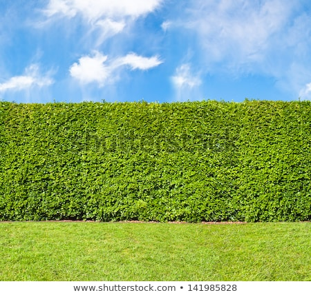 Abstract Nature of a Garden Hedge Stock photo © shutswis