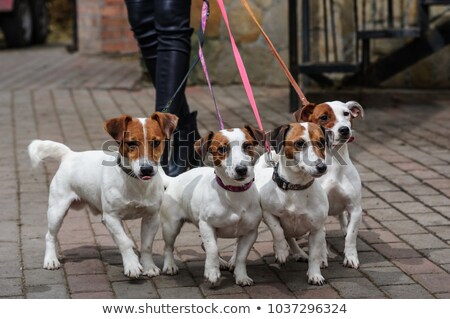 Obedient Jack Russell Terrier stock photo © oliverjw