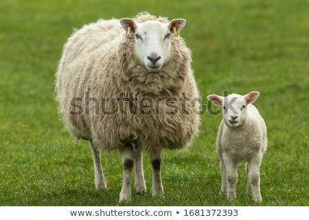 mãe · ovelha · primavera · Holanda · céu · bebê - foto stock © trgowanlock
