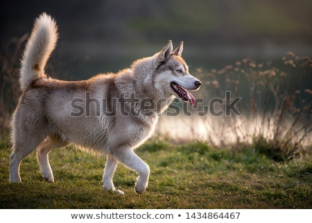 Iki köpekler boğuk mutlu gözler kurt Stok fotoğraf © mariephoto