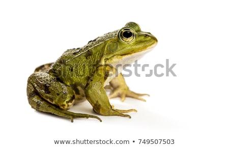 Béka fotó zöld fa kéz szemek természet Stock fotó © colematt