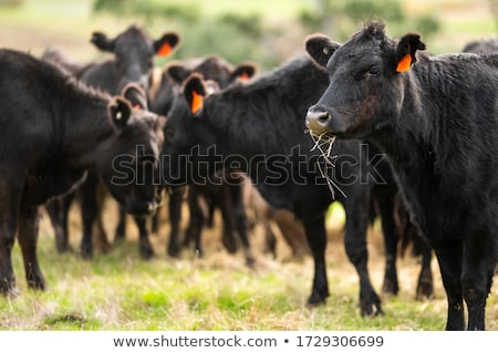 Stockfoto: Kudde · rundvlees · vee · australisch · boerderij · voedsel