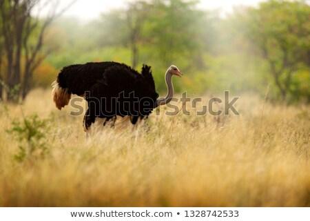 女性 ダチョウ デルタ ボツワナ 草 自然 ストックフォト © dirkr