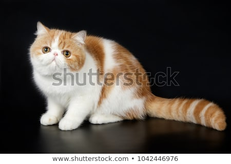 Stockfoto: Exotic Shorthair Cat Exotic Domestic Cat On Black Background