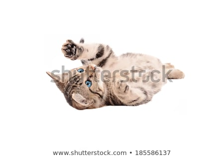 adorable tabby kitten laying on its back stock photo © dnsphotography