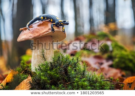 Fire salamander (Salamandra salamandra) Stock photo © Zerbor