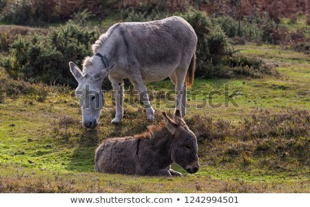 Donkey grazing in the New Forest stock photo © sarahdoow