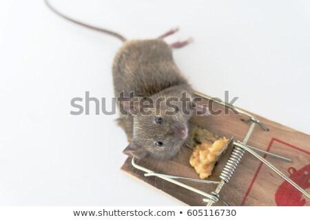 muertos · ratón · trampa · piso · de · madera · casa · madera - foto stock © bmonteny