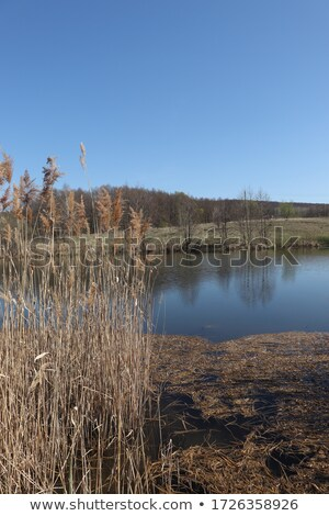 Bulrush growing at the side of a lake Stock photo © Mps197