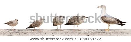 Posiedzenia mewa obraz Niemcy piękna Zdjęcia stock © w20er