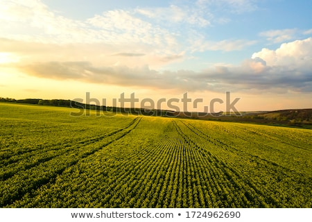 oilseed rapeseed flowers in cultivated agricultural field stock photo © stevanovicigor