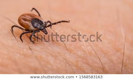 Stock photo: The castor bean tick (Ixodes ricinus)