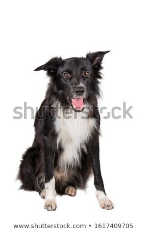 aandachtig · witte · herdershond · portret · metaal - stockfoto © photosebia