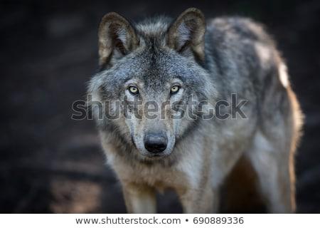 グレー オオカミ クローズアップ 肖像 冬 ストックフォト © nialat