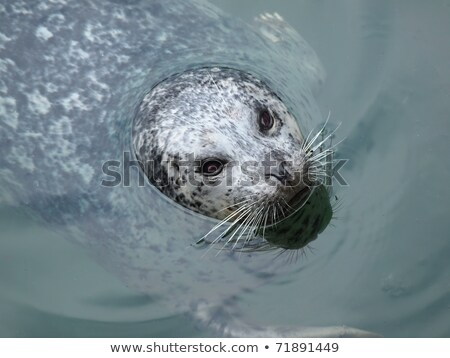 Harbour Seal (Phoca vitulina) pokes his head out of the water Stock photo © Mariusz_Prusaczyk
