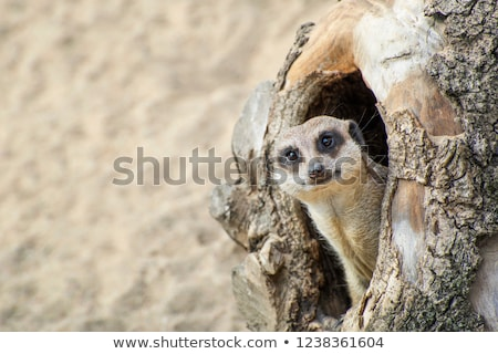 Stock photo: meerkat on guard