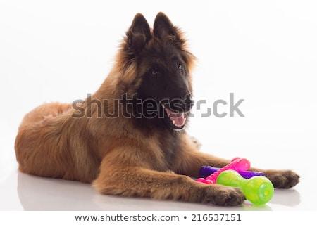 cachorro · doze · velho · retrato - foto stock © avheertum