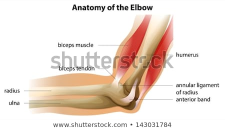anatomy of the human elbow stock photo © bluering