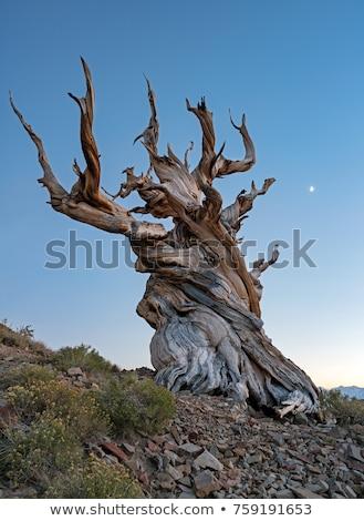 çam ağacı örnek beyaz arka plan yeşil karanlık Stok fotoğraf © bluering