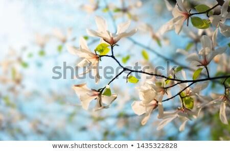magnolia · boom · bloesem · roze · blauwe · hemel · bloem - stockfoto © joyr
