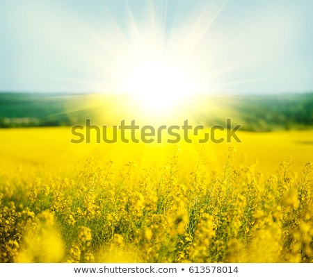 Rape field canola plant photo Stock photo © Hermione