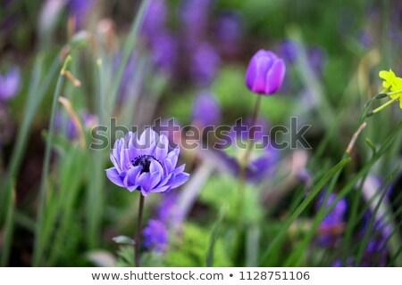 anemone flowers on field stock photo © mady70
