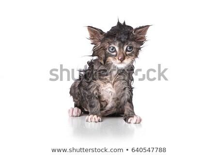 Dripping Wet Kitten on White  Stock photo © tobkatrina
