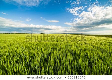 Vert domaine blé matin printemps Photo stock © hraska