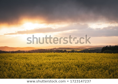 canola field ecology biofuel blue sky over yellow field stock photo © konstanttin