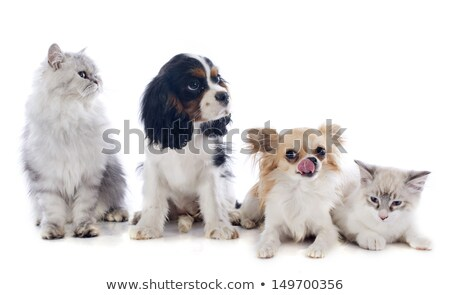 white persian cat and chihuahua Stock photo © cynoclub