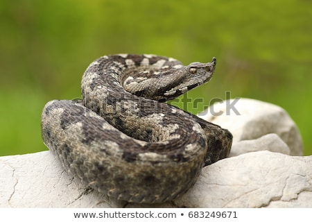 Vipera ammodytes basking on natural habitat Stock photo © taviphoto