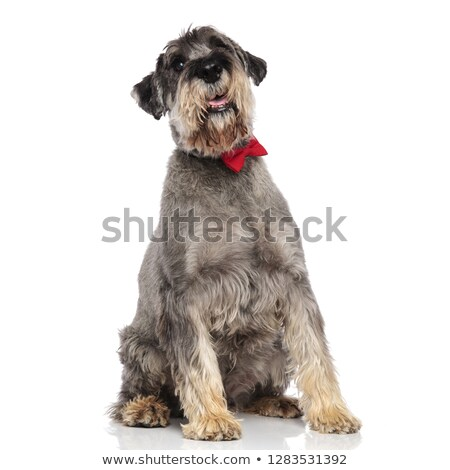 cute schnazuer wearing a red bowtie sitting and looking up Stock photo © feedough