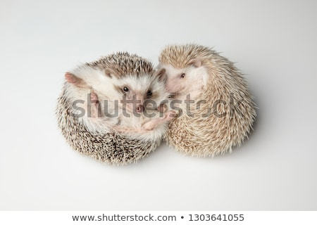 cute african dwarf hedgehog couple resting on back stock photo © feedough