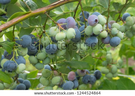 Unripe blueberries Stock photo © ondrej83