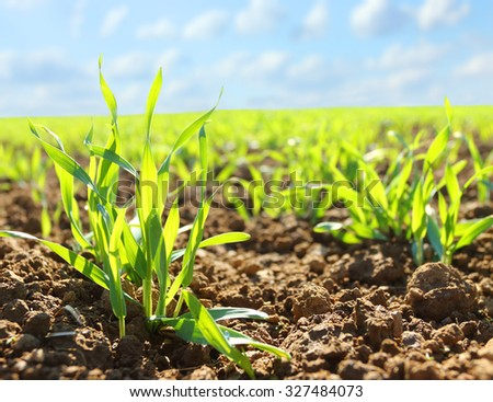 Field of young wheat Stock photo © Kotenko