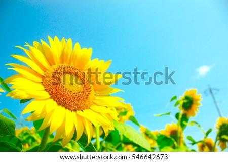 blue sky and sunflowers in the field stock photo © yoshiyayo
