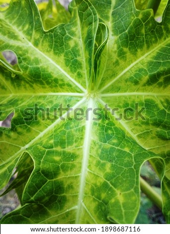 inside of a green papaya stock photo © smithore