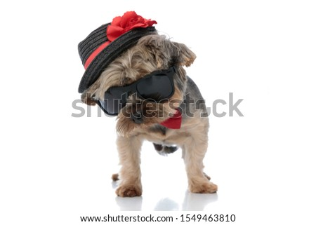 Elegante yorkshire terrier preto seis Foto stock © feedough
