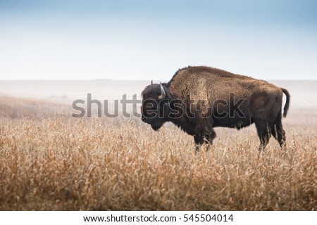 buffalo in landscape stock photo © ivonnewierink